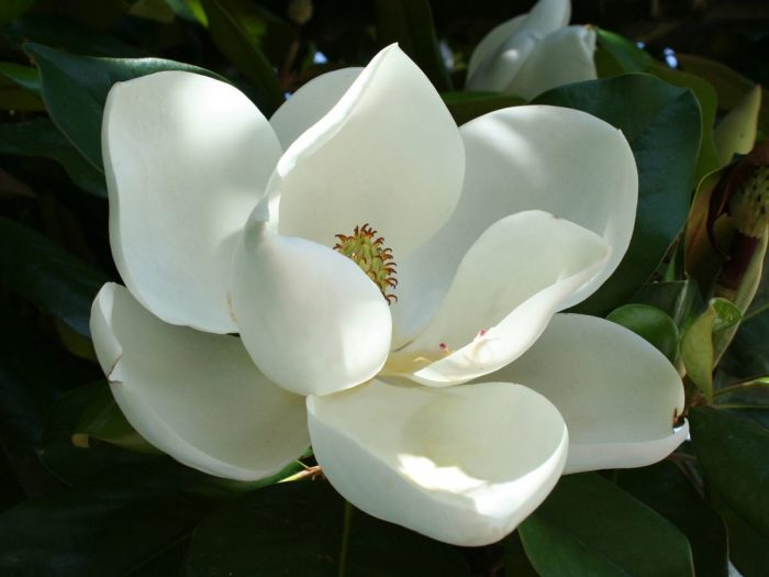 10 Impressive Benefits of Magnolia   Organic Facts     magnolia