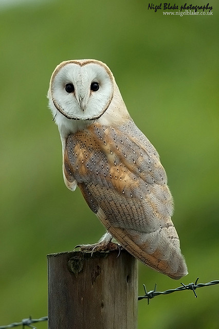 Common Barn Owl (Tyto alba) - Picture 3 of 20 - The Owl Pages