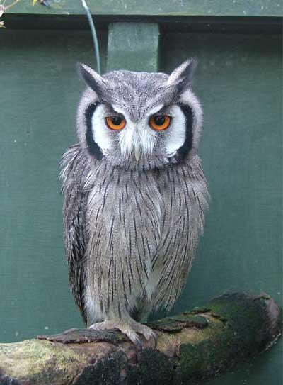 Casper Owl Rescue