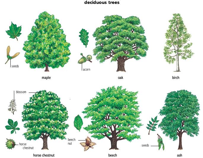 acorn noun - Definition, pictures, pronunciation and usage ...