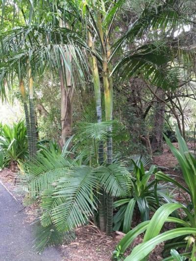 Dypsis baronii - DISCUSSING PALM TREES WORLDWIDE - PalmTalk