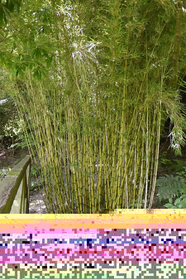 Tall Bamboo Plants Uk