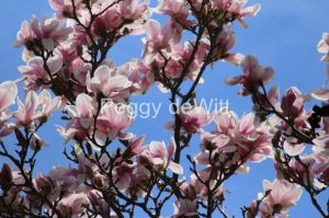 Flowers   PEGGY deWITT PHOTOGRAPHY Flowers Magnolia Tree  3231