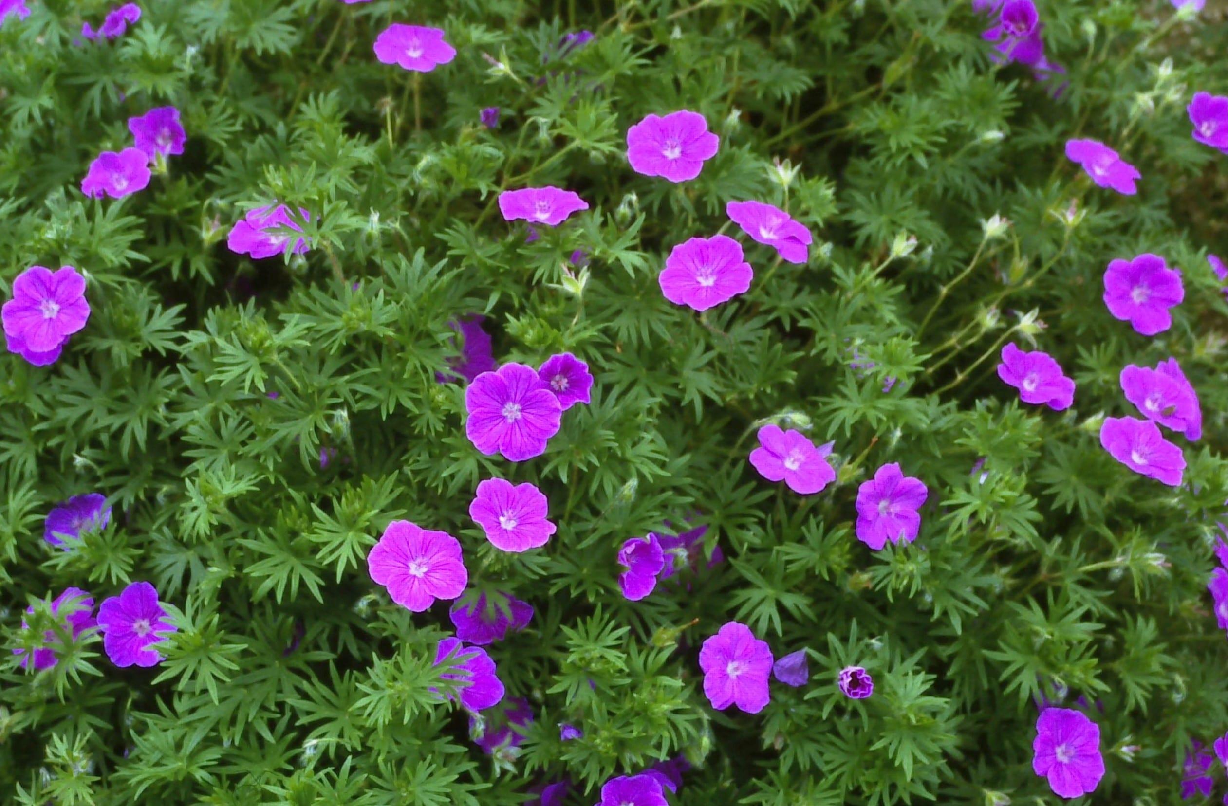 Geranium Maculatum Plant