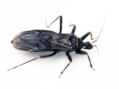 Kissing Bug Pest Profile: Bite & Disease Information