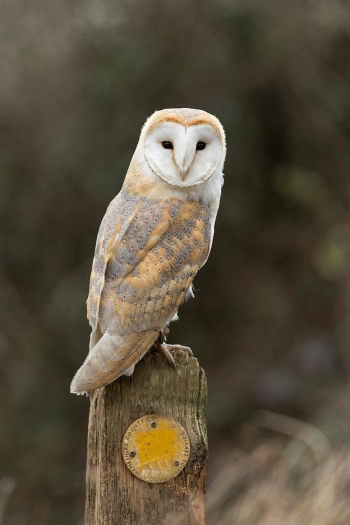 Barn Owls | Pete Whieldon Photography