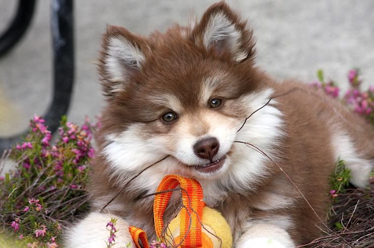 Breed Profile: Finnish Lapphund - Petful
