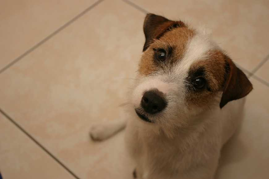 Image result for Jack Russell Terrier  狗 滑稽