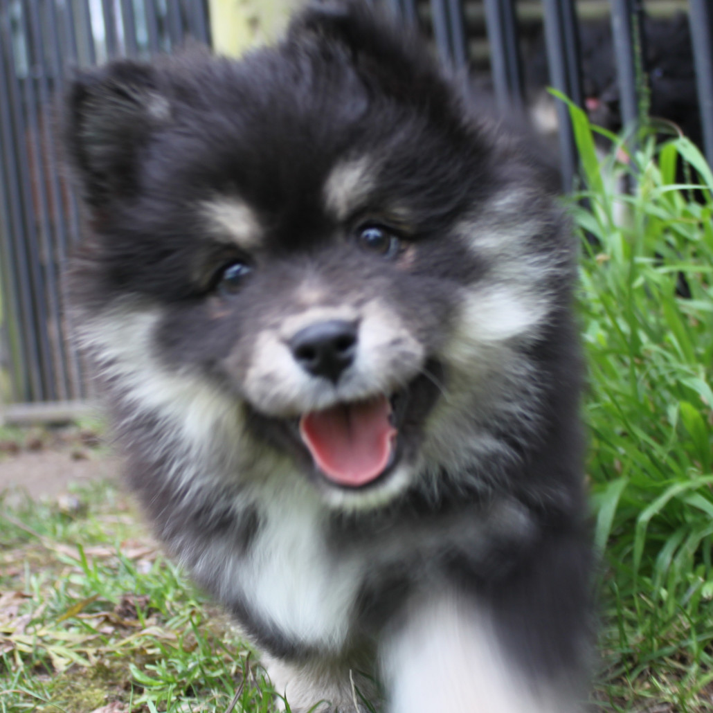 Finnish Lapphund Breed Guide - Learn about the Finnish ...