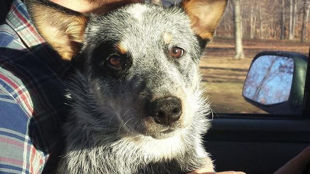 Blue Heeler Rescue Kentucky