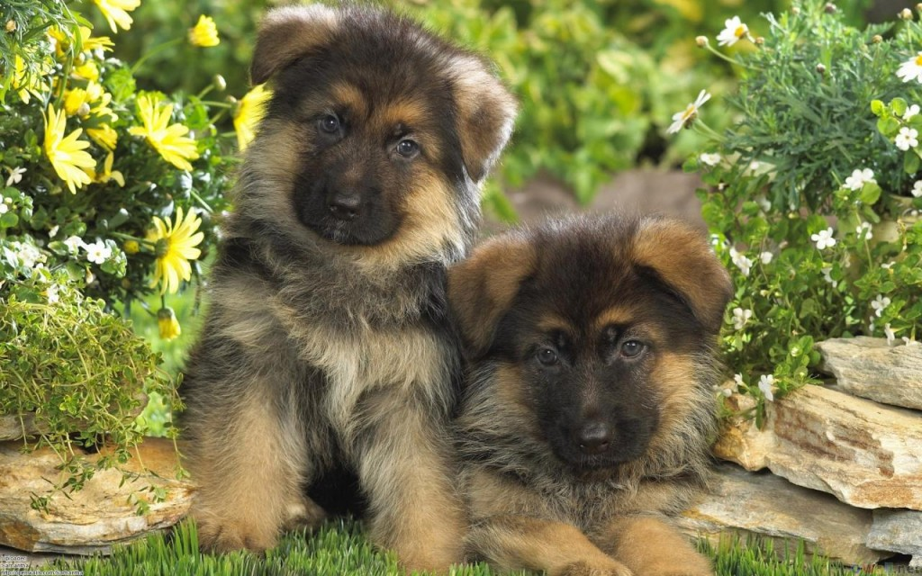 Cute German Shepherd Pictures