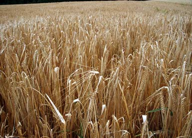 Gerste Barley Hordeum Vulgare Auf Pflanzenliebe De Bei