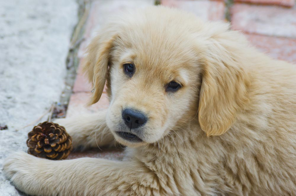 Golden Retriver Puppies Coloring Pages
