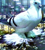 Pigeons For Sale - Pigeon Farms - Call (562) 235-1829