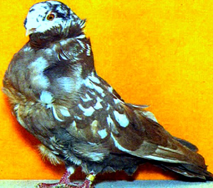 Chinese Owl Pigeons For Sale - Pigeon Farms - Call (562) 235