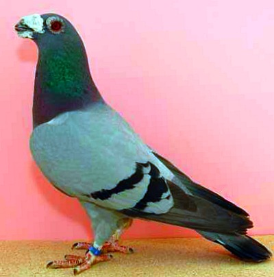 Dragoon Pigeons For Sale - Pigeon Farms - Call (562) 235-1829