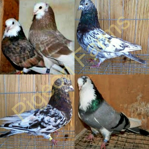 Roller Pigeons For Sale - Pigeon Farms - Call (562) 235-1829