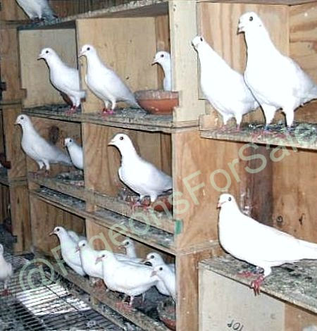 Doves For Sale >> White Doves For Sale Pigeon Farms Call 562 235 1829