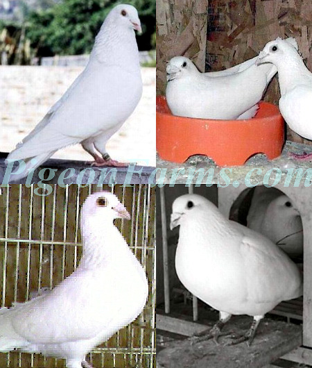 White Racing Homers For Sale - Pigeon Farms - Call (562) 235-1829