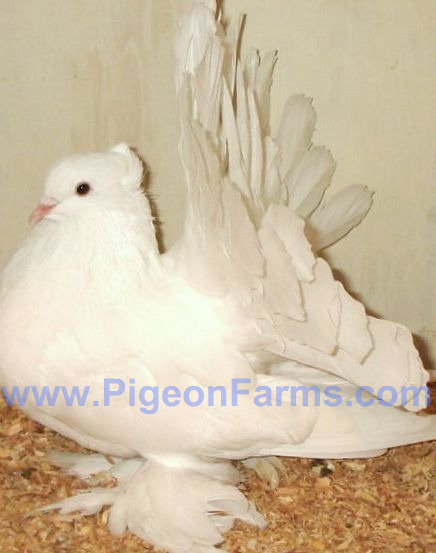 Indian Fantail Pigeons For Sale - Pigeon Farms - Call (562