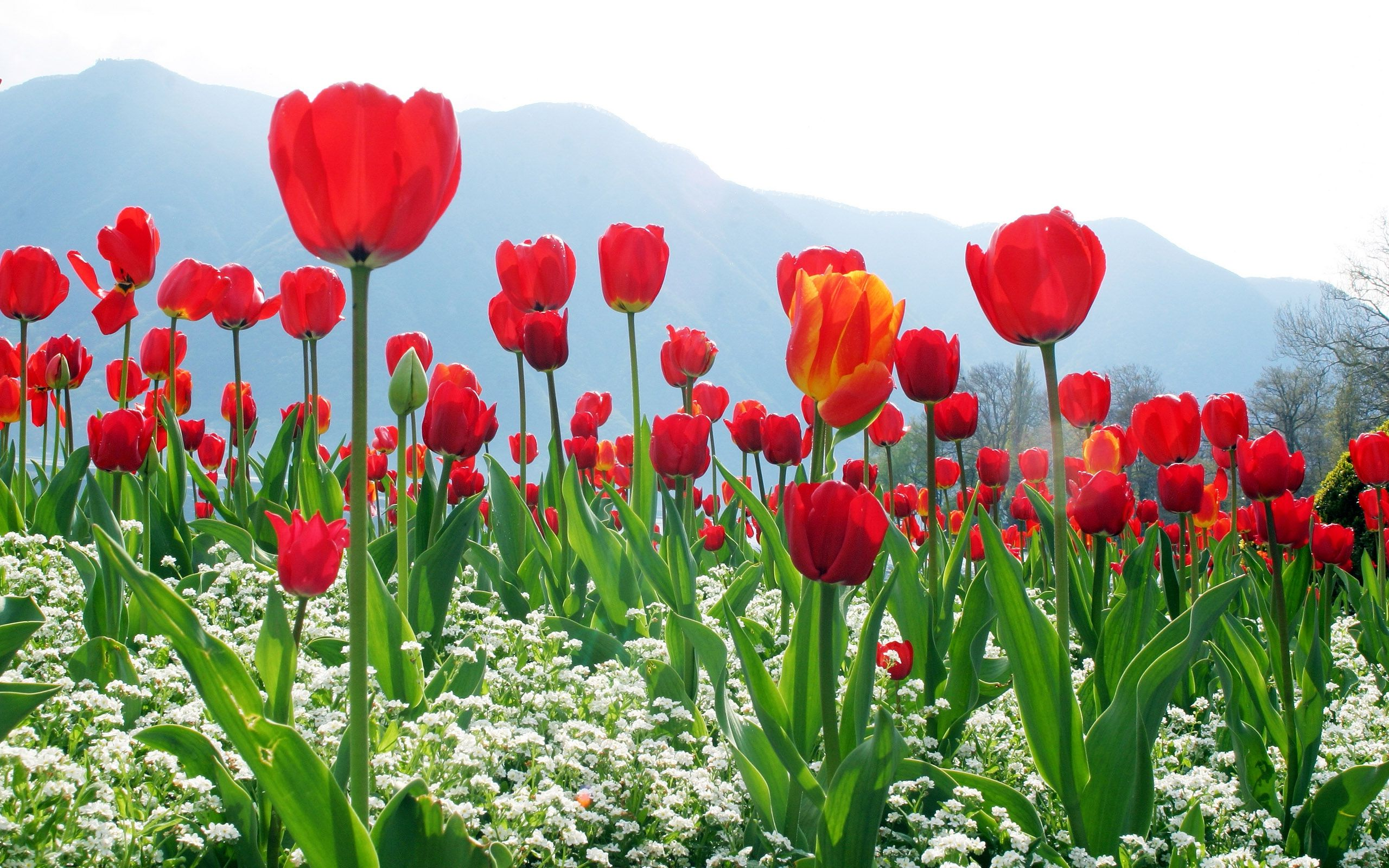 Tulips flower wallpapers   PixelsTalk Net Red Tulip Flowers Field Wallpaper