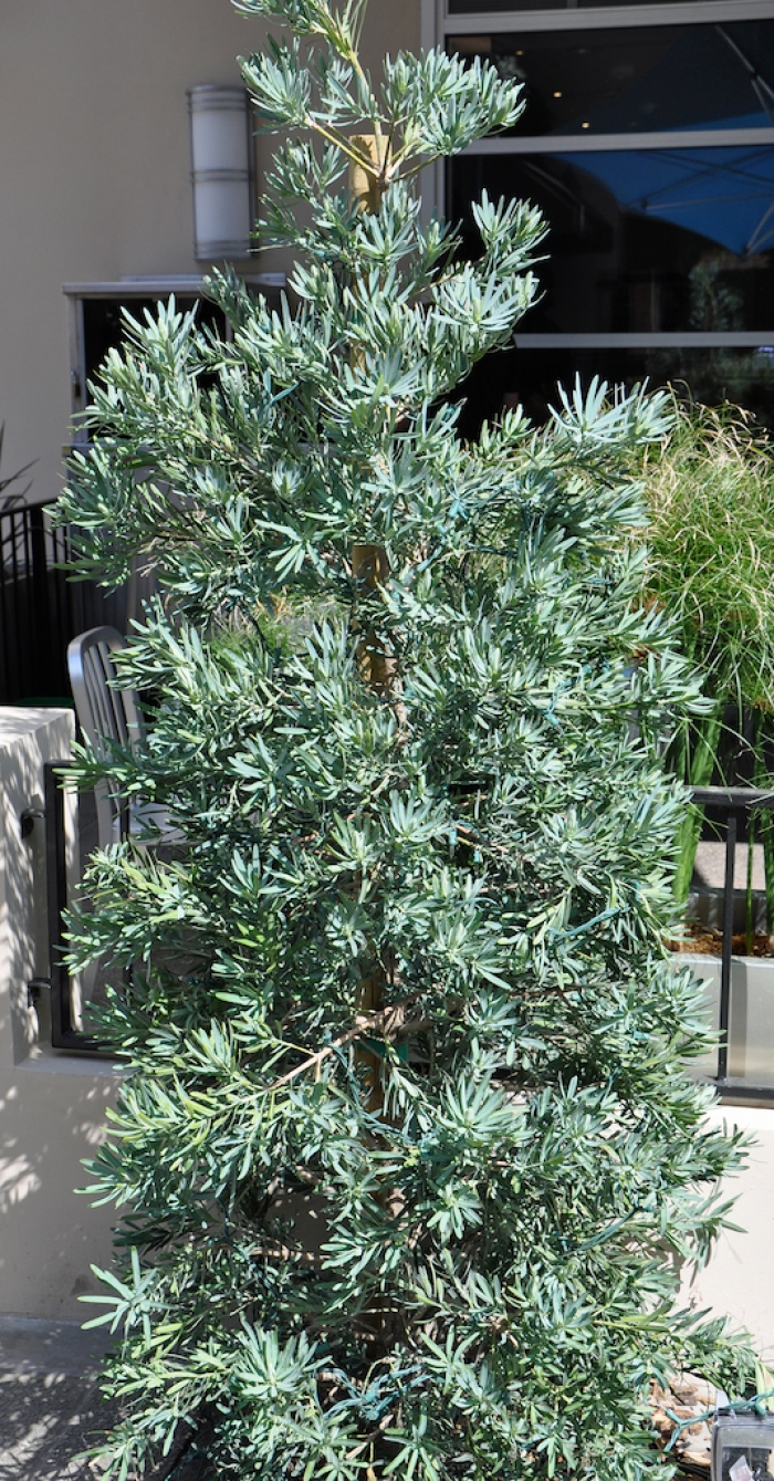 Podocarpus Ice Blue Garden Design Ideas
