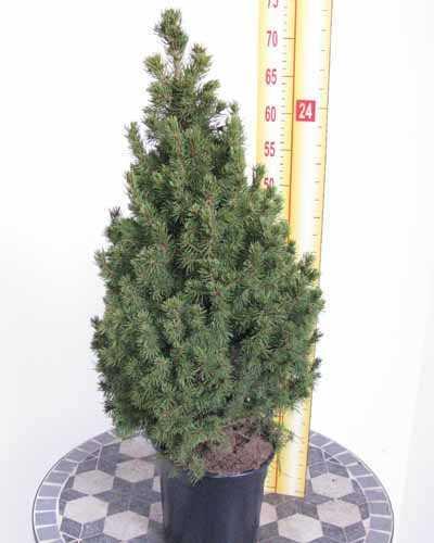 Picea Glauca Conica Mini Christmas Tree Dwarf Alberta