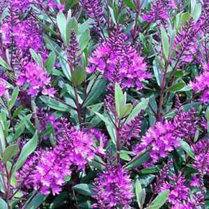 Cheap Hebe Wiri Charm Small Evergreen Shrubs Hebes For