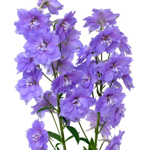 Larkspur Art July Flower Clip