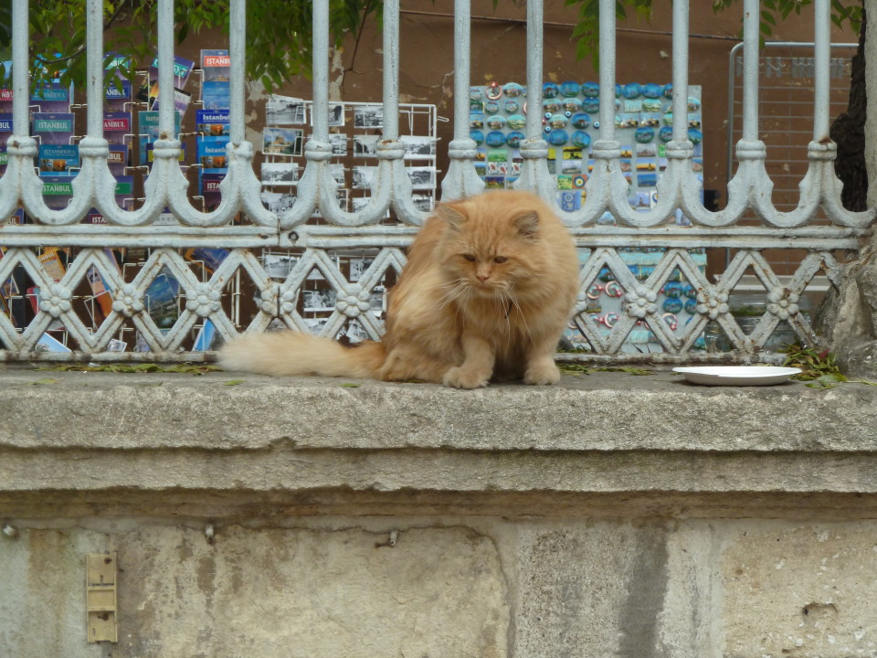 Istanbul cats, things to do in Istanbul, Things to do Istanbul Turkey