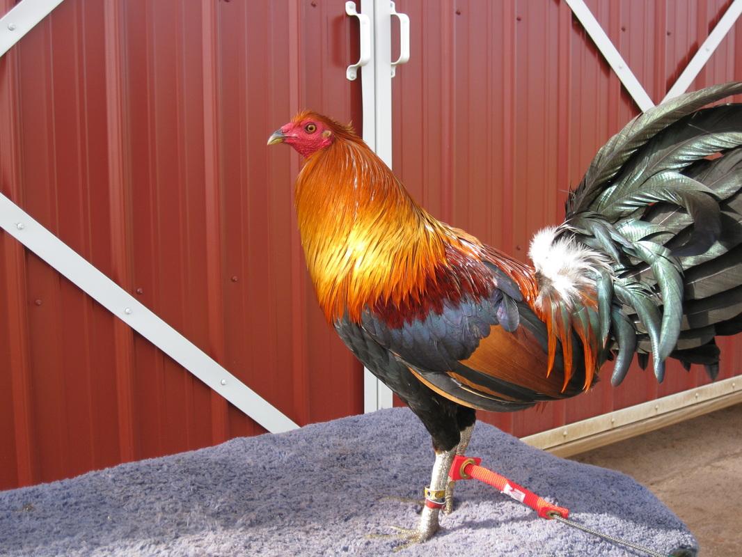 Fowl Blank Title