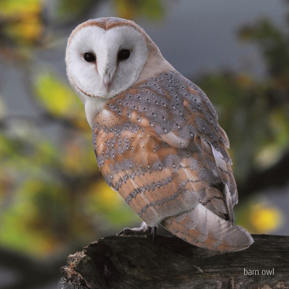 barn owl sounds - 1000×1000
