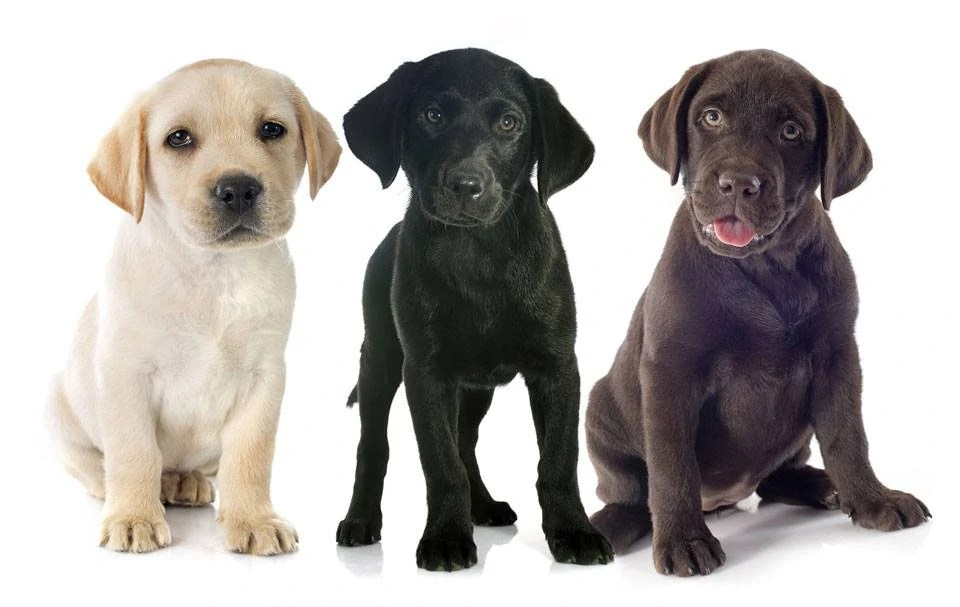 Breed Black Labs Chocolate Labs