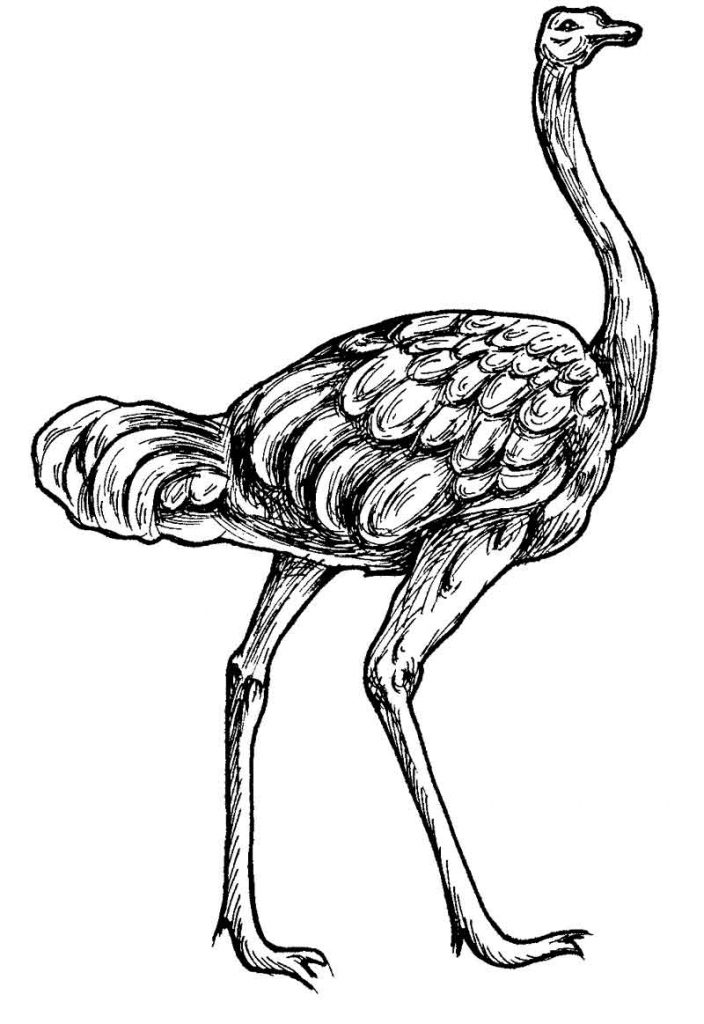Color Preschool Ostrich