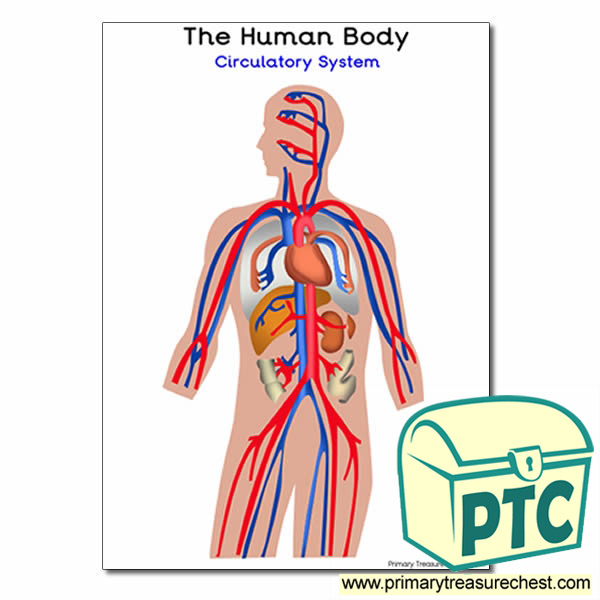 'The Human Body Circulatory System Poster - Primary ...