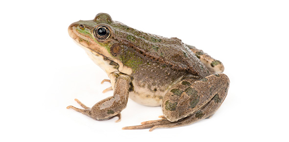 Anatomy of the Frog Flashcards by ProProfs