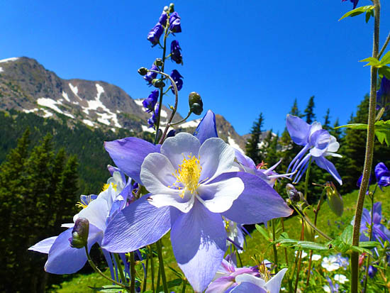 Colorado Alpine Flowers