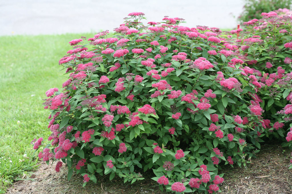Bush Spirea Knight Dark