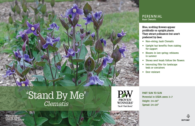 Clematis Stand By Me 11x7 Quot Variety Benchcard Proven