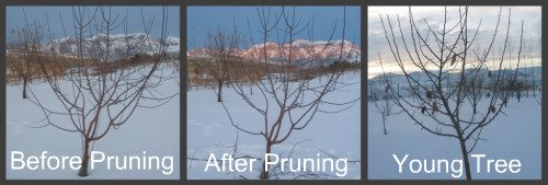 After Apple Tree Pruning