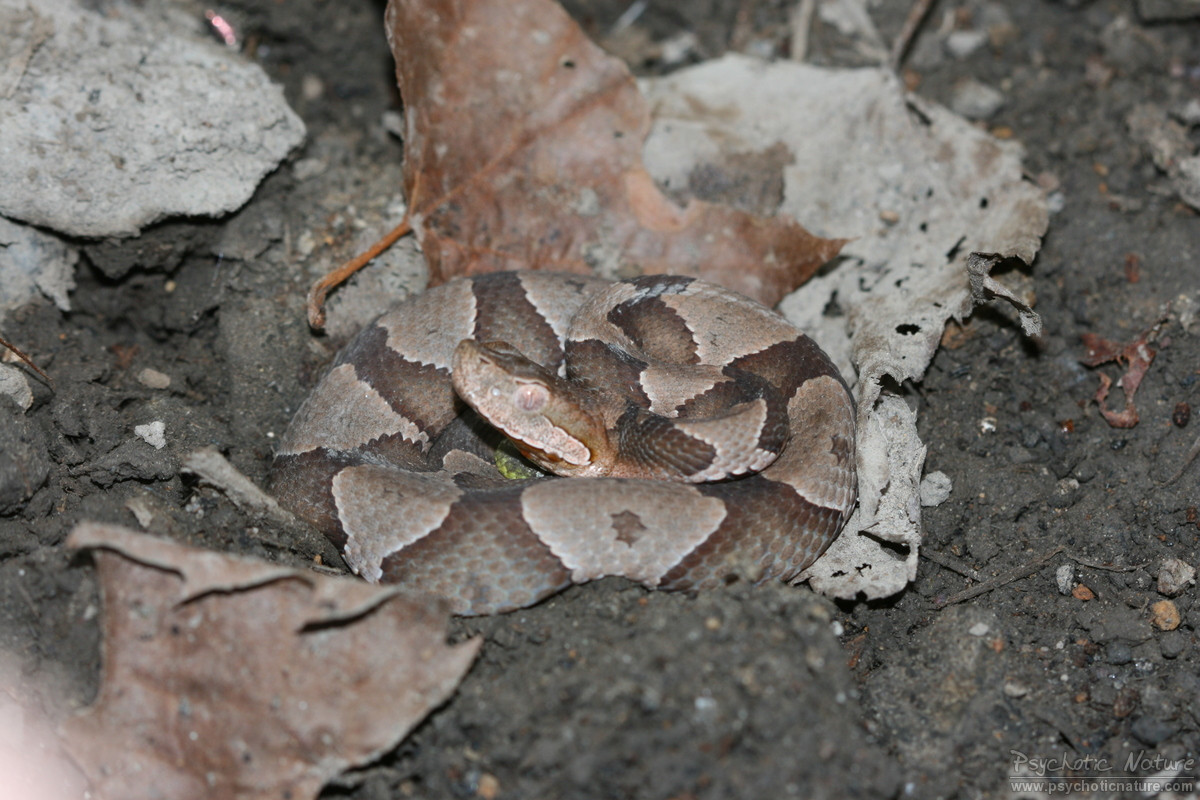 northern copperhead map - HD1200×800