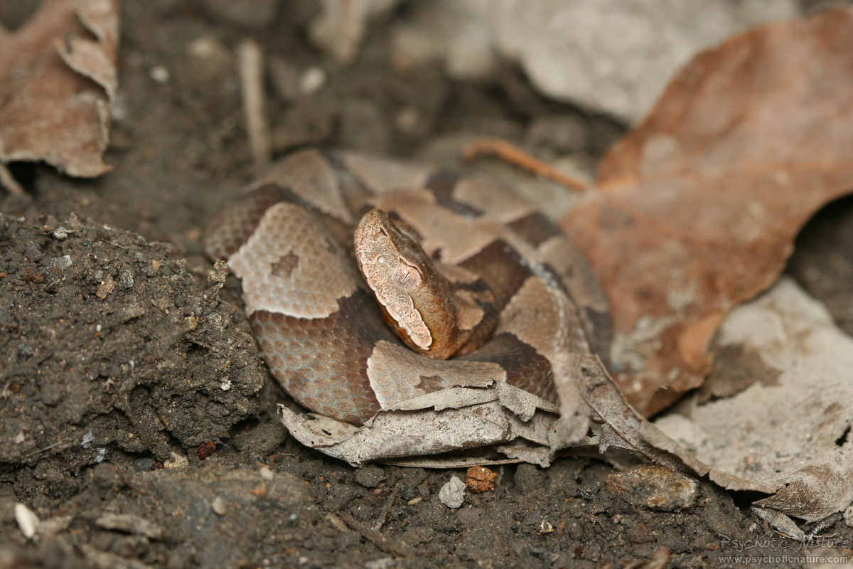 northern copperhead pictures - HD 1200×800
