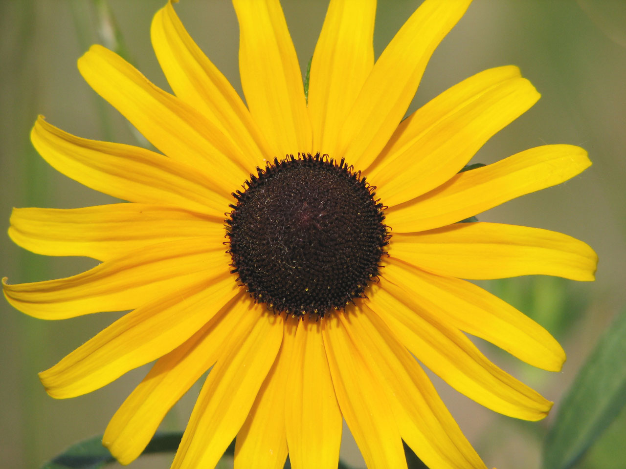 brown eyed susan - HD 1280×960