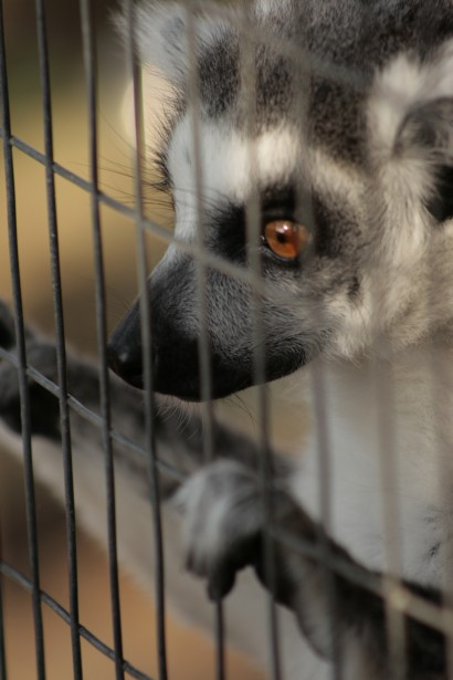Animal Behind Bars Free Stock Photo Public Domain Pictures