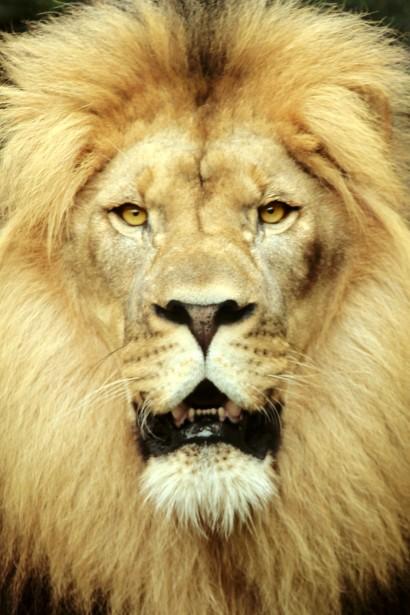 Majestic Lion Free Stock Photo Public Domain Pictures