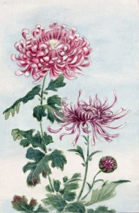 Chrysanthemum Flowers Japanese Art Free Stock Photo   Public Domain     Chrysanthemum Flowers Japanese Art