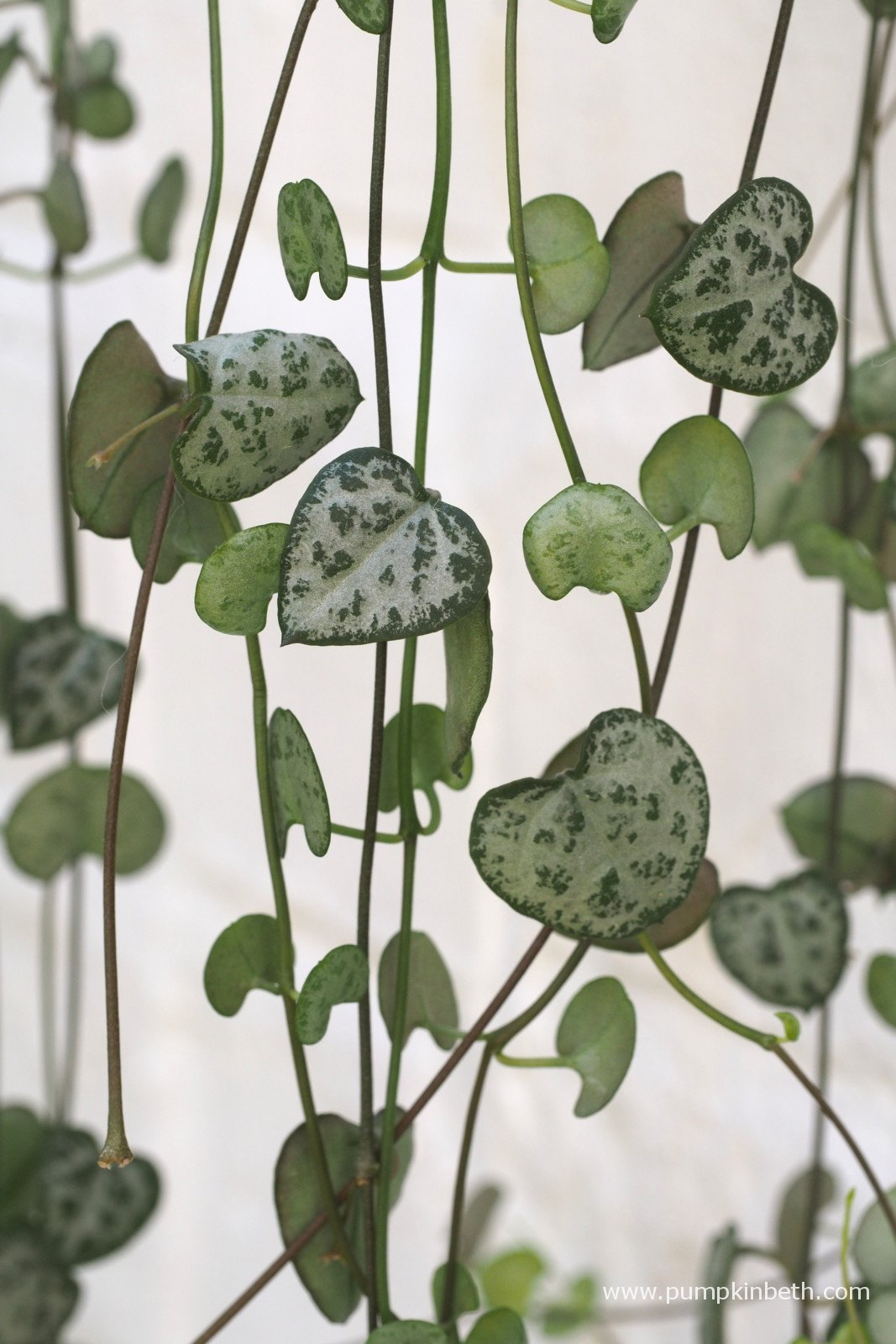 Trailing Plants Hanging Baskets