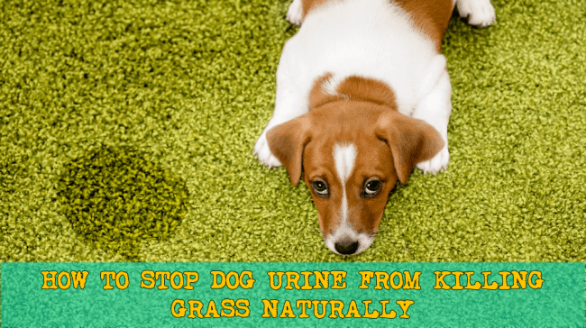 Dog Urine Burning Grass - How To Stop Dog Urine From Killing Grass