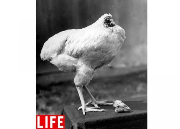 Headless Chicken Lives 2 Years