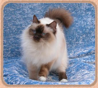 Catastrophe Lonerock Ragdoll Cats And Kittens All